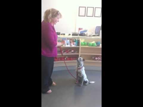 Deaf Dog Training With A Big Leash Remote Dog Training Collar