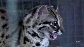 Wild Leopard Cat