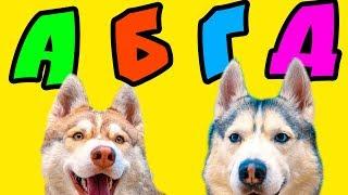 ГОВОРИМ АЛФАВИТОМ!! (Хаски Бандит) Говорящая собака