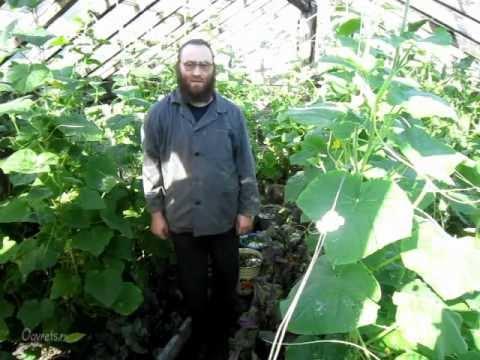 видео: Тепличная практика от батюшки 100% урожай огурцов