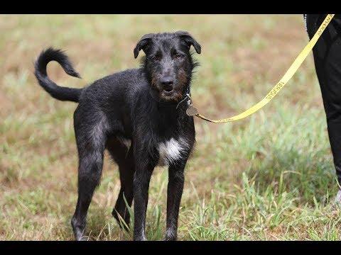 Stanley - 11 Month Old Deerhound x - 7 Weeks Residential Dog Training