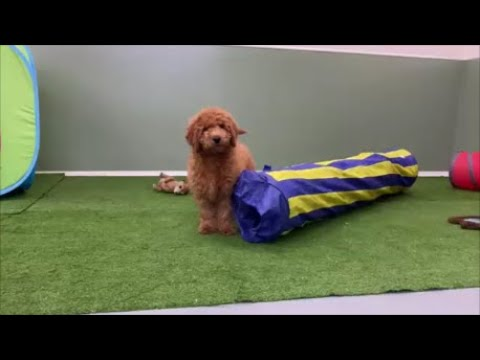 Adorable Male Labradoodle Puppy