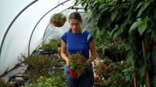 Growing chillies:  Effect of pot size