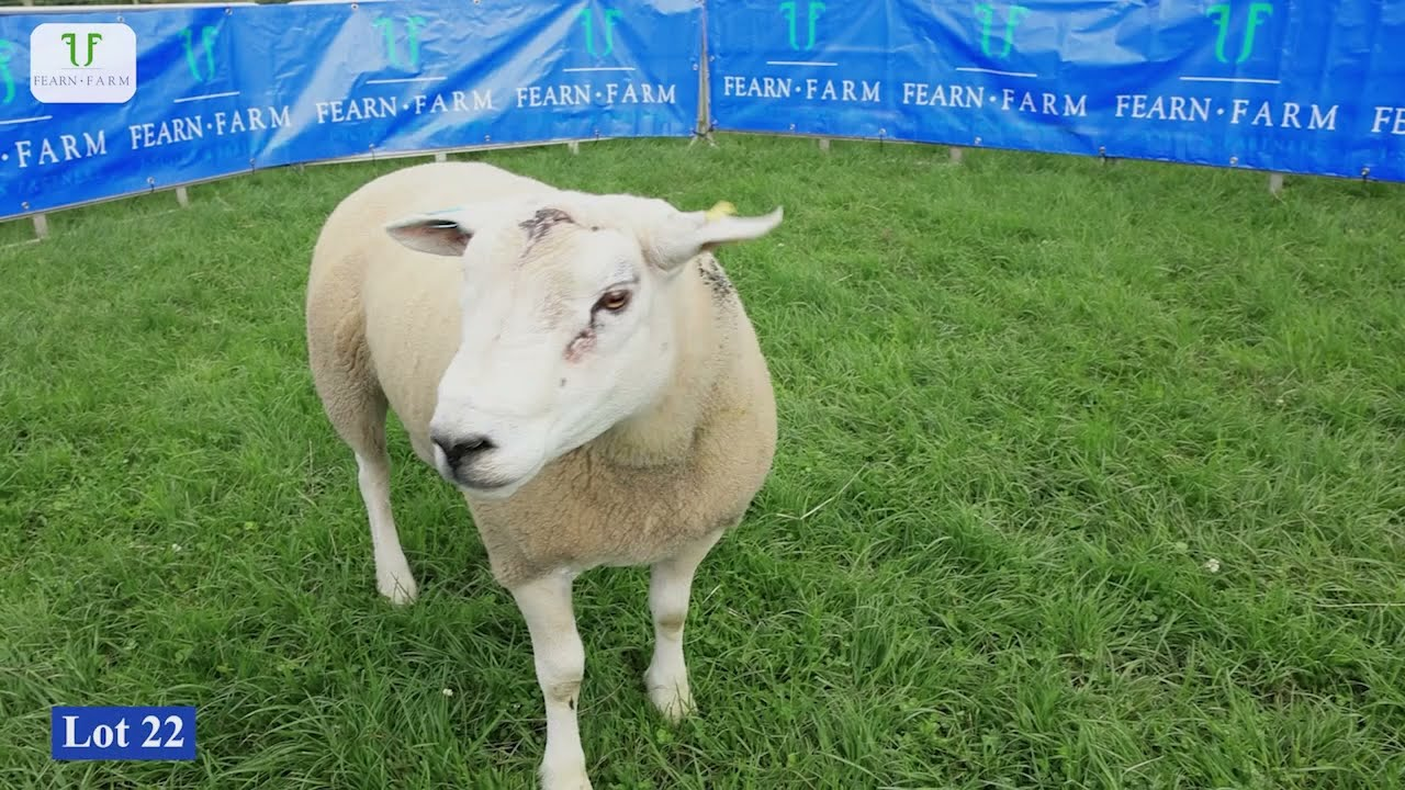 Download Fearn 2021 Texel Rams  Lots: 21 to 30