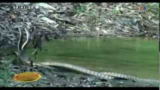 เรื่องเล่าเช้านี้ ไม่แคร์สื่อ ภาพหาดูยาก งูจงอางโชว์หวานกลางสายน้ำ