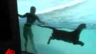 Raw Video:  Tigers Swim With Animal Trainers