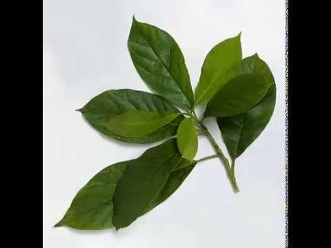 Pictures Of Avocado Leaves