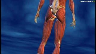 Le muscle strié comme vous ne l'avez jamais vu