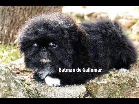 batman-de-gallumar-pekinés-imperial-negro