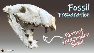 Fossil Preparation - Hyaenodon horridus carnivore skull in time lapse (30 million years old)