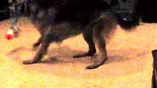 German Shepherd Dog Running In Circles With Popper Toy (life In Every Breath Through Nature's Eyes)