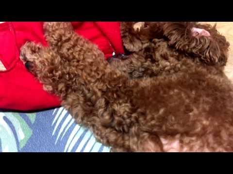 배부른 강아지가 하는 행동 A full-blown puppy Feeds the dog poodle _딘이누나♥#195