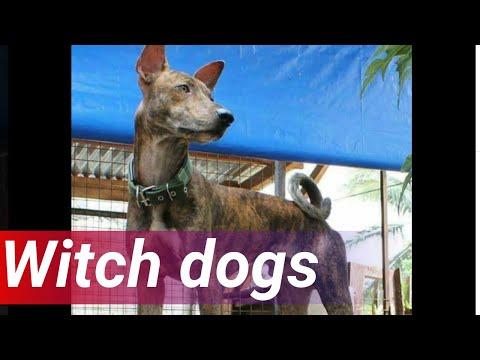 24 Oras: 'Aso ng gubat' o 'witch dogs', posibleng 36,000 na taon nang nasa Pilipinas