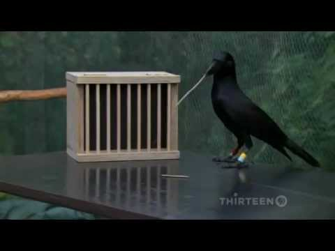 How smart is a crow?