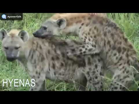 Big animals mating , Best moments lion hyenas baboons camel rhinoelephant tiger
