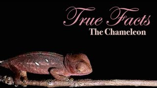 True Facts About The Chameleon(Post on Facebook :: http://on.fb.me/14tQcif Tweet This :: http://bit.ly/17gVHn5 (you can change the text) Music: http://www.soundcloud.com/querflote Insane in the ..., 2013-02-22T20:17:58.000Z)