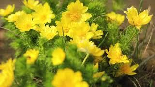 Первые весенние цветы. Адонис в лесу | Футажи красивая природа [FullHD]