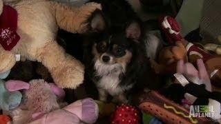 Heisting and Hoarding Chihuahua | Bad Dog!