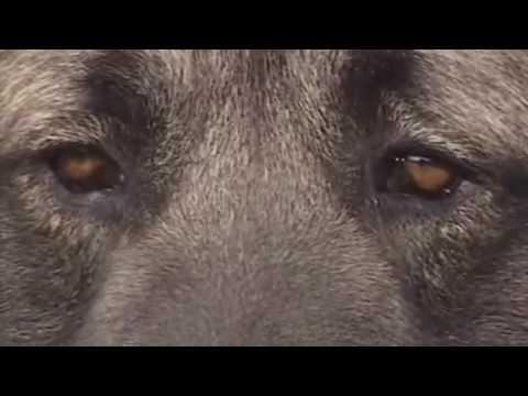 Caucasian Ovcharka vs Wolf - COMPARISON