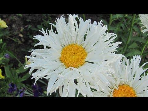 У вас растут такие ромашки? Цветы любви, семьи и верности