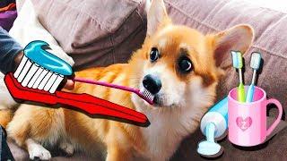 🐶Чистим зубы собаке! Первый раз