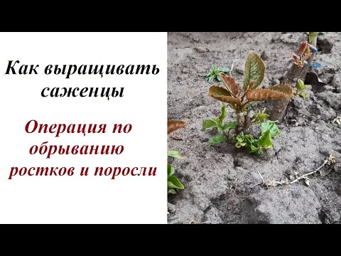 Как выращивать саженцы: обрываем ростки и поросль