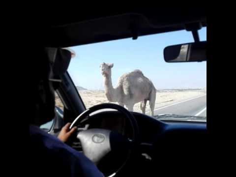 Hitchhike Qeshm Iran CAMEL