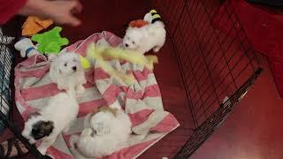 Coton Puppies For Sale - Isha 11/27/19