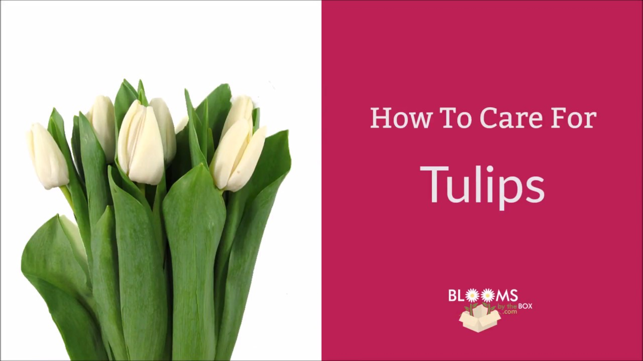 How To Care For Tulips Youtube