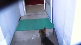 Training Puppy To Get Paper ! Smart Gsd ! German Shepherd Dog