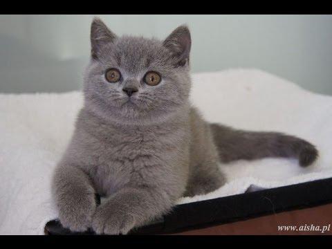 British Shorthair Cattery California | Best Cat Cute