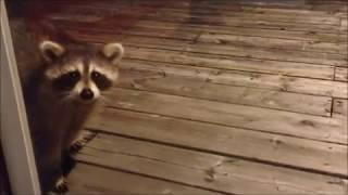 My Friend the Raccoon