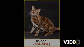 Աշխարհի ամենաթանկ կատուները. իսկ դուք պատրա՞ստ եք վաճառել ձեր տունը