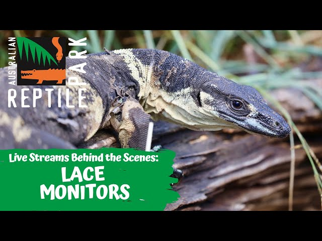 LACE MONITOR FEED (LIVE FOOTAGE) | AUSTRALIAN REPTILE PARK