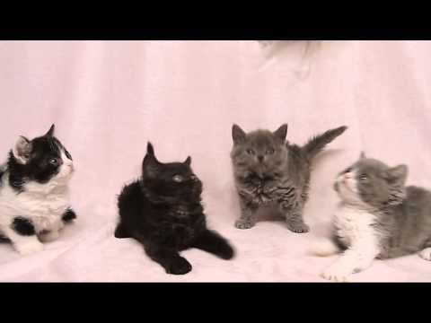 セルカークレックスの子猫たち