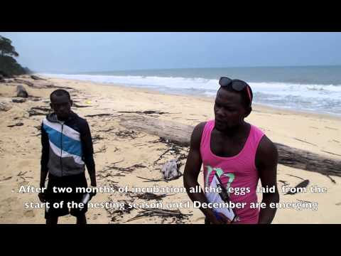 Sea Turtle monitoring during hatchling season, Gabon