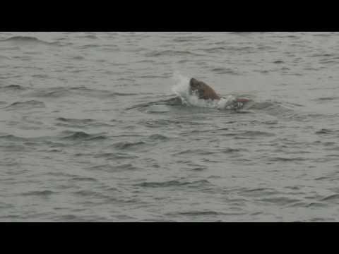 Steller Sea Lion Eating Octopus