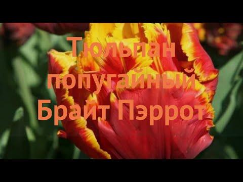 Вопрос: Какие сорта тюльпанов относятся к попугайным тюльпанам?