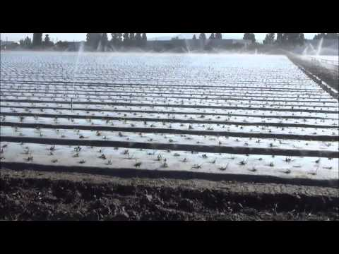California Strawberry Production