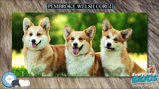 Pembroke Welsh Corgi  Everything Dog Breeds