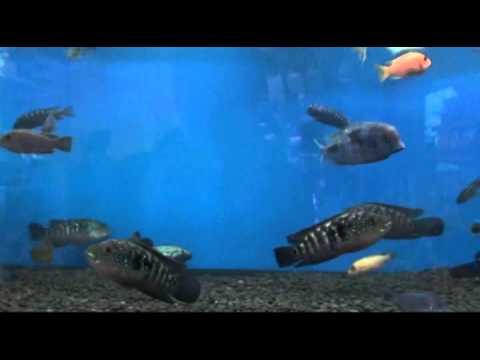 аквариумные рыбки Видео! - -Видео сёрфинг