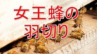 守谷みつばち夢プロジェクトで、女王蜂の羽切りを見学してきました。 ご...