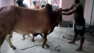 qurbani 2016 | grounding of my red bull | ZinZIra bazar Gorur HaAt 2017
