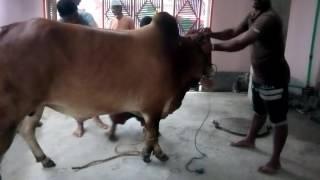 qurbani 2016 | grounding of my red bull | ZinZIra bazar Gorur HaAt 2017