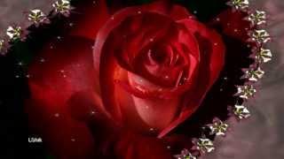 Red rose - Красная роза