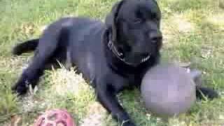 Tyler - Black Labrador Retriever Living In Nj, Usa