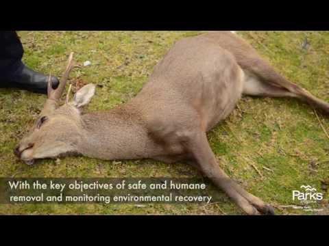 Hog Deer Control Trial-Wilsons Promontory 2015