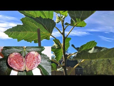 violette-de-bordeaux---an-anchor-fig-for-my-garden