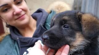 Выбор щенка Немецкой овчарки. We choose a puppy of the German Shepherd.