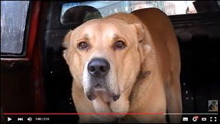 Настоящий ВОЛКОДАВ.This wolfhound.АЛАБАЙ(Северо-кавказский).Odessa.